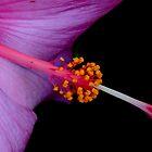 Pink Hibiscus by Sean Jansen
