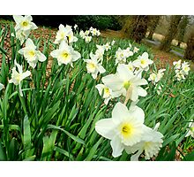 Daffodils..white ones Photographic Print