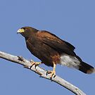 Harris Hawk by tomryan