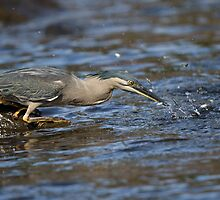 Striated Heron by JayWolfImages