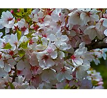 Spring Cherry Blossoms Photographic Print