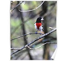 Rose Breasted Grosbeak Poster