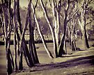 Gums on the banks of the Clarence by Albert