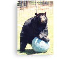 black bear on ball Canvas Print