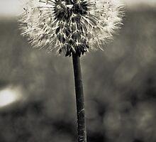 Lonely Dandelion [black & white] by amykaren