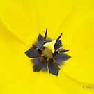 Tulip Macro by Cathy O. Lewis