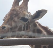 Giraffe- Gentry Zoo, Arkansas by llc2010
