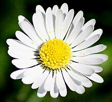 Details of a Daisy by kamieo