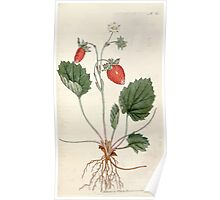 The Botanical magazine, or, Flower garden displayed by William Curtis V1 V2 1787 1789 0138 Fragaria Monophylla, One Leaved Strawberry, Strawberry of Versailles Poster