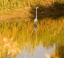 Reflection of a Great White Egret at Greenfields Wetlands by Elana Bailey