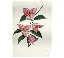 Familiar Flowers of India With Colored Plates, Lena Lowis 0097 Bougainvillia Glabra Poster