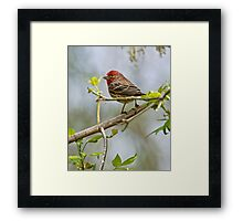 House Finch - Ottawa, Ontario Framed Print