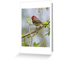 House Finch - Ottawa, Ontario Greeting Card
