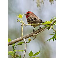 House Finch - Ottawa, Ontario Photographic Print