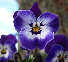 beautiful pansies by millymuso
