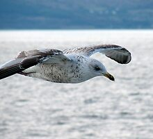Young Gull by Tazfiend