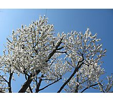 Snow-white blossoms against the blue sky Photographic Print
