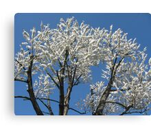 Snow-white blossoms Canvas Print