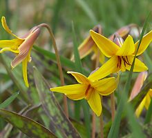 Trout Lily; Dog Tooth Violet- Erythronium americanum by Tracy Faught