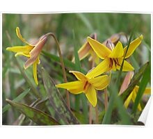 Trout Lily; Dog Tooth Violet- Erythronium americanum Poster