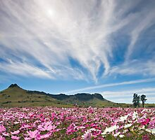 Wild Cosmos Field by Rob  Southey