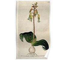 The Botanical magazine, or, Flower garden displayed by William Curtis V3 V4 1790 1791 0021 Lachenalia Tricolor, Three Colored Lachenalia Poster