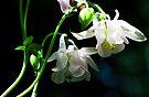 White Columbine - The Shade Garden by T.J. Martin