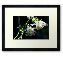 White Columbine - The Shade Garden Framed Print