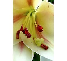White Lily with Red Stamens Photographic Print
