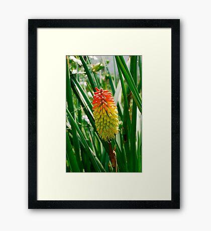Red Hot Poker Flower Framed Print