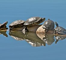 Red-eared Sliders by noffi