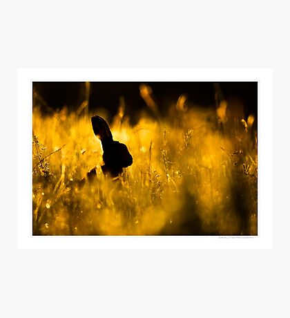 Brown Hare at Dawn Photographic Print