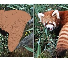 LESSER PANDA (Ailurus fulgens): A WORK IN PROGRESS (PLEASE READ BLURB) by owen bell