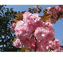 Kwanzan Cherry blossoms Photographic Print