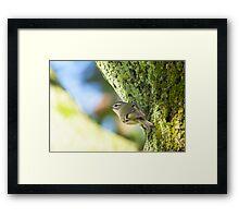 Kinglet  Framed Print
