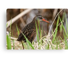 Virginia Rail - Ottawa, Ontario Canvas Print