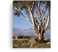 Australian Eucalyptus Canvas Print