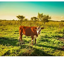 Cow in the field watching the camera Photographic Print