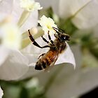 White Bougainvillea with Bee by TeAnne
