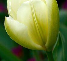 Creamy Yellow Tulip Flower by WOBBLYMOL