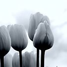 Tulips in Monochrome by Jack McCallum