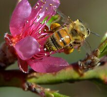 Springtime Honey Bee by Diana Graves Photography