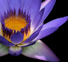 Oh my God - Water Lilly -Queensland - Australia by AMP  Al Melville Photography