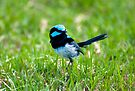 Blue Wren by Andrew Dickman