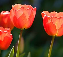 Tulips by Geoff Carpenter