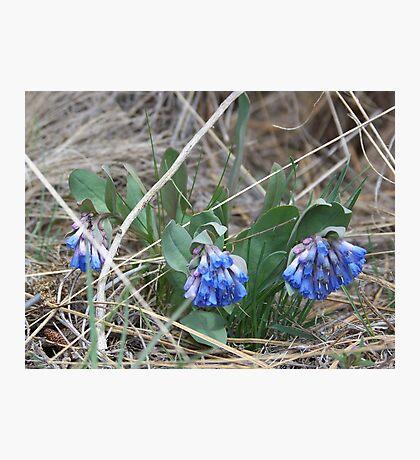 Sagebrush Bluebell Photographic Print
