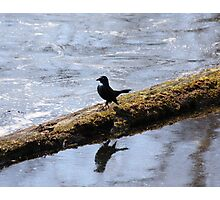 A little bird strutting his stuff on a log above the water Photographic Print