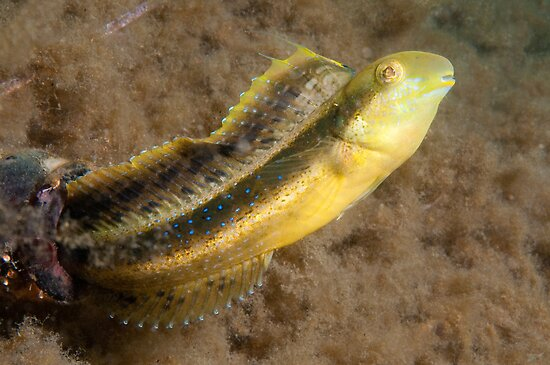 Brown Sabretooth Blenny, Sydney Harbour by Erik Schlogl