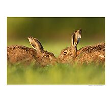 Brown Hares Touching Noses Photographic Print