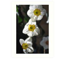 Daffodil Trio Art Print